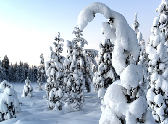 Spruce covered in snow