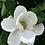 Thumbnail: Magnolia 01