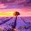 Thumbnail: Lavender 01