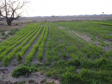 西の菜園と小麦畑~3月の野良仕事~