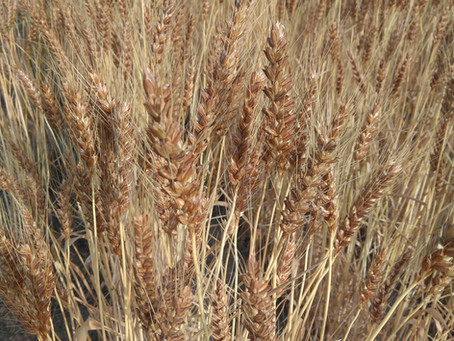 小麦でつながる「コムギケーション」~2年目~始まります