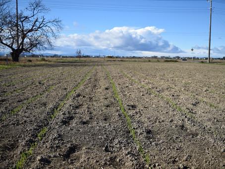 僕集小麦づくりプロジェクト2020~発芽~