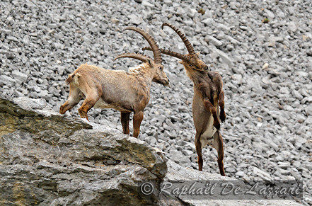 animaux-suisse-028.jpg