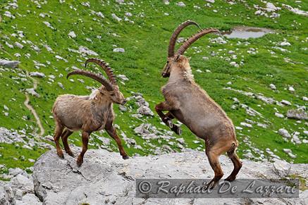 animaux-suisse-029.jpg