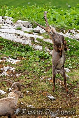animaux-suisse-026.jpg