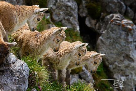 animaux-suissse-007.jpg