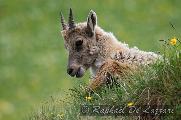animaux-suisse-007.jpg
