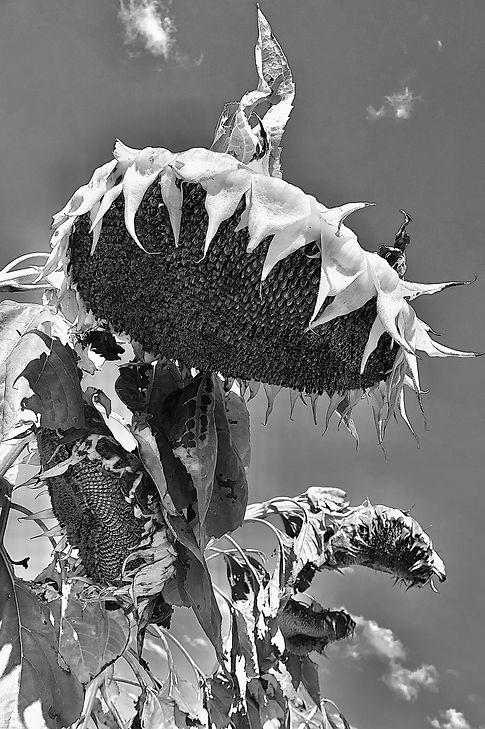 Dead Sunflowers.jpg