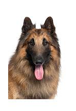 close-up-belgian-shepherd-tervuren-2-yea