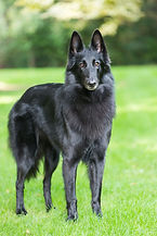portrait-of-a-purebred-belgian-sheepdog-