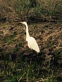 exploring egret