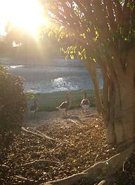 inspiration sunlit geese talking