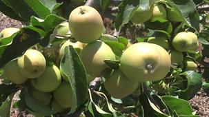 apples growing.PNG