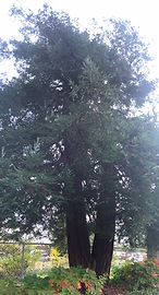 wonderment - redwoods fairy circle