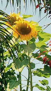 bright sunlit sunflowers