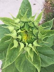 barely open sunflower