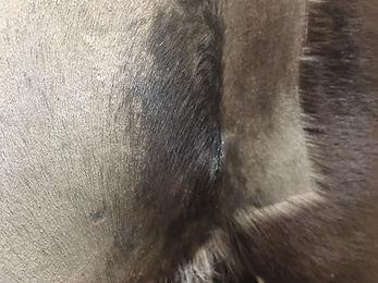 post surgery horse hair regrowth