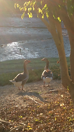 geese in conversation