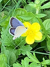 butterfly - periwinkle flutter on yellow