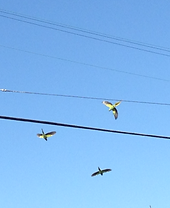 inspired green parrots in flight