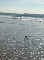 sandpiper in surf