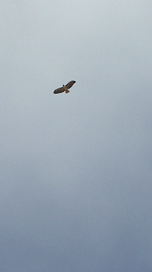 soaring hawk - cloudy sky