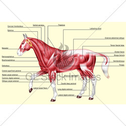 horse-anatomy-muscles
