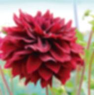 Floral Dália Rubra Filhas de Gaia