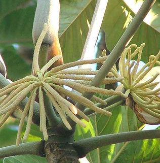 Floral Broto de Embaúba Filhas de Gaia