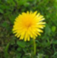 Floral Dente de Leão Filhas de Gaia