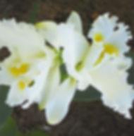 Floral Clatéia Branca Filhas de Gaia