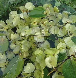 Floral Coração Verde do Cerrado Filhas de Gaia