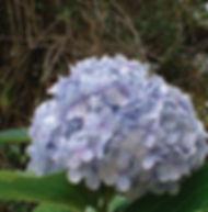 Floral Hortênsia Filhas de Gaia