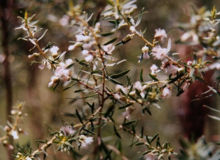 Floral Alecrim Do Mato Florais Filhas de Gaia