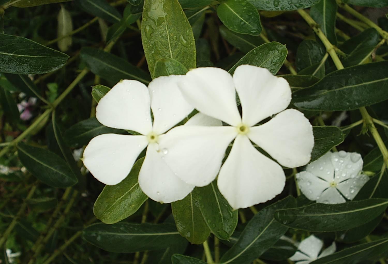 Floral Vinca Branca Florais Filhas de Gaia