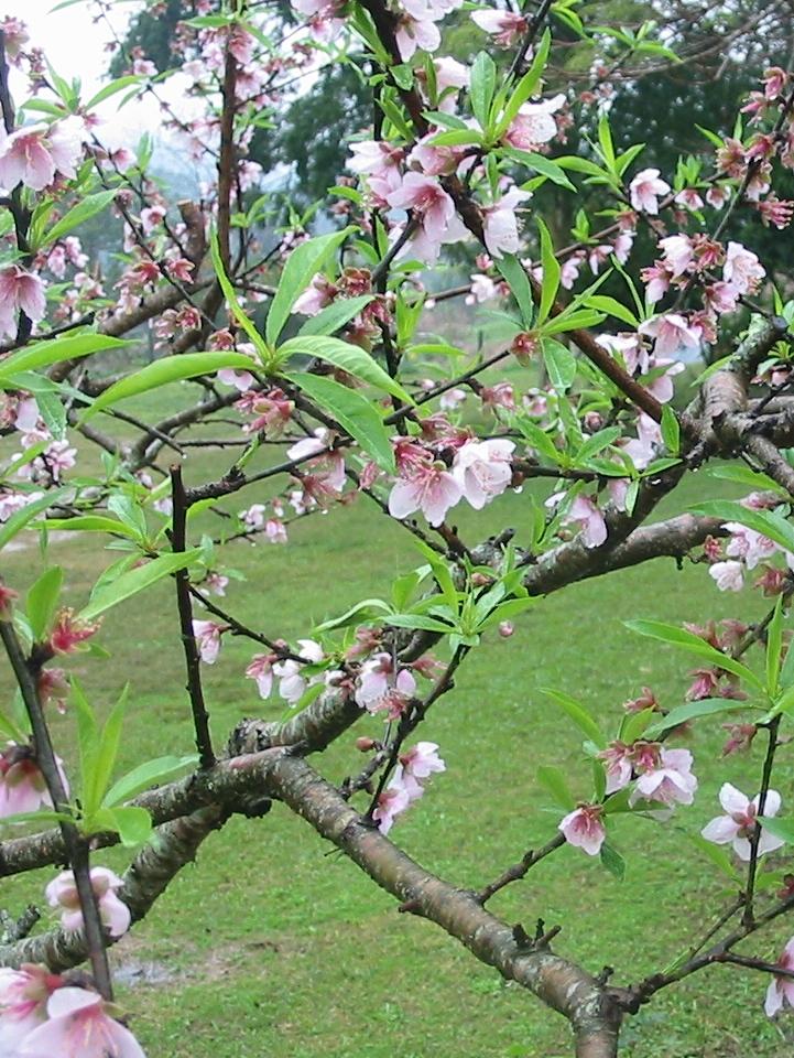 Floral Pessegueiro de Belém Florais Filhas de Gaia