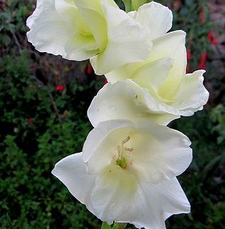 Floral Palma Branca Filhas de Gaia