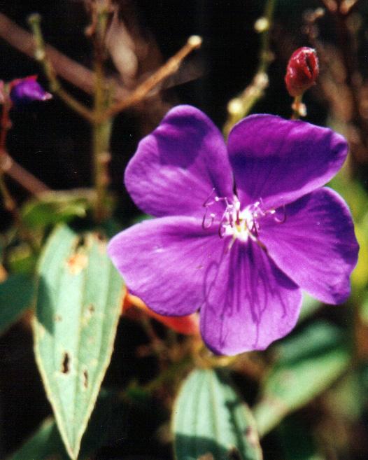 Floral Roxinha Florais Filhas de Gaia