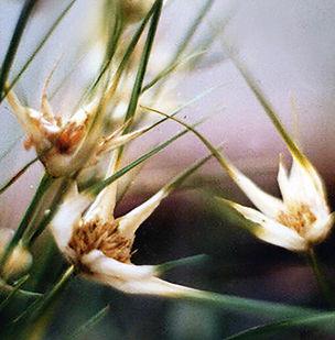 Floral Capim Estrela Filhas de Gaia