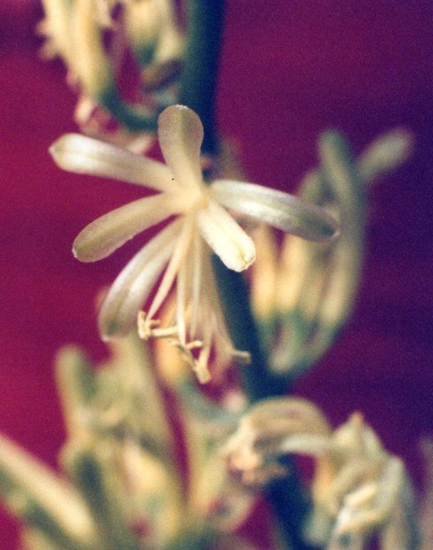Floral Espada de são Jorge Florais Filhas de Gaia