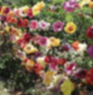 Floral Círculo de Hibiscos Filhas de Gaia