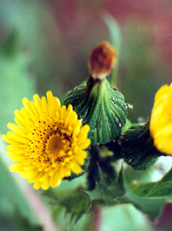 Floral Serralha Florais Filhas de Gaia