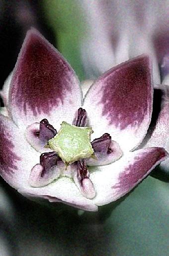 Floral Algodão de Seda Florais Filhas de Gaia