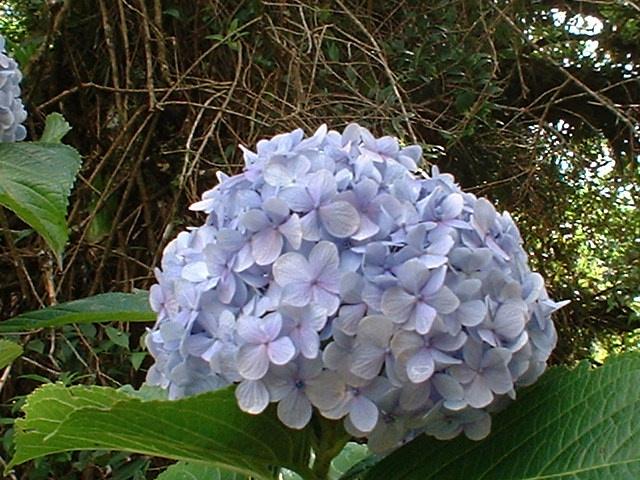 Floral Hortência Florais Filhas de Gaia