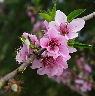 Floral Pessegueiro de Belém Filhas de Gaia