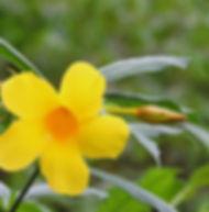 Floral Alamanda Filhas de Gaia