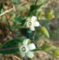 Floral Cometa Filhas de Gaia