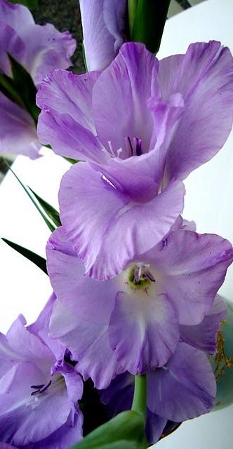 Floral Palma Lilás Florais Filhas de Gaia