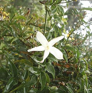 Floral Jasmim dos Poetas Filhas de Gaia