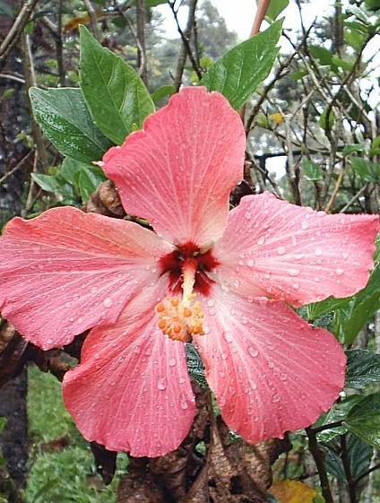 Floral Hibisco Rosa Florais Filhas de Gaia